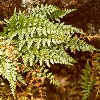 Asplenium adiantum-nigrum L. (Aspleniaceae). Kautenbach (L). © 2001 by Yves Krippel.
