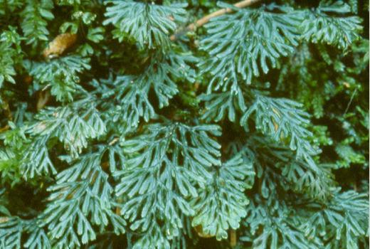 hymenophyllum tunbrigense intro