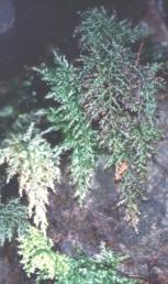Trichomanes speciosum sporophyte