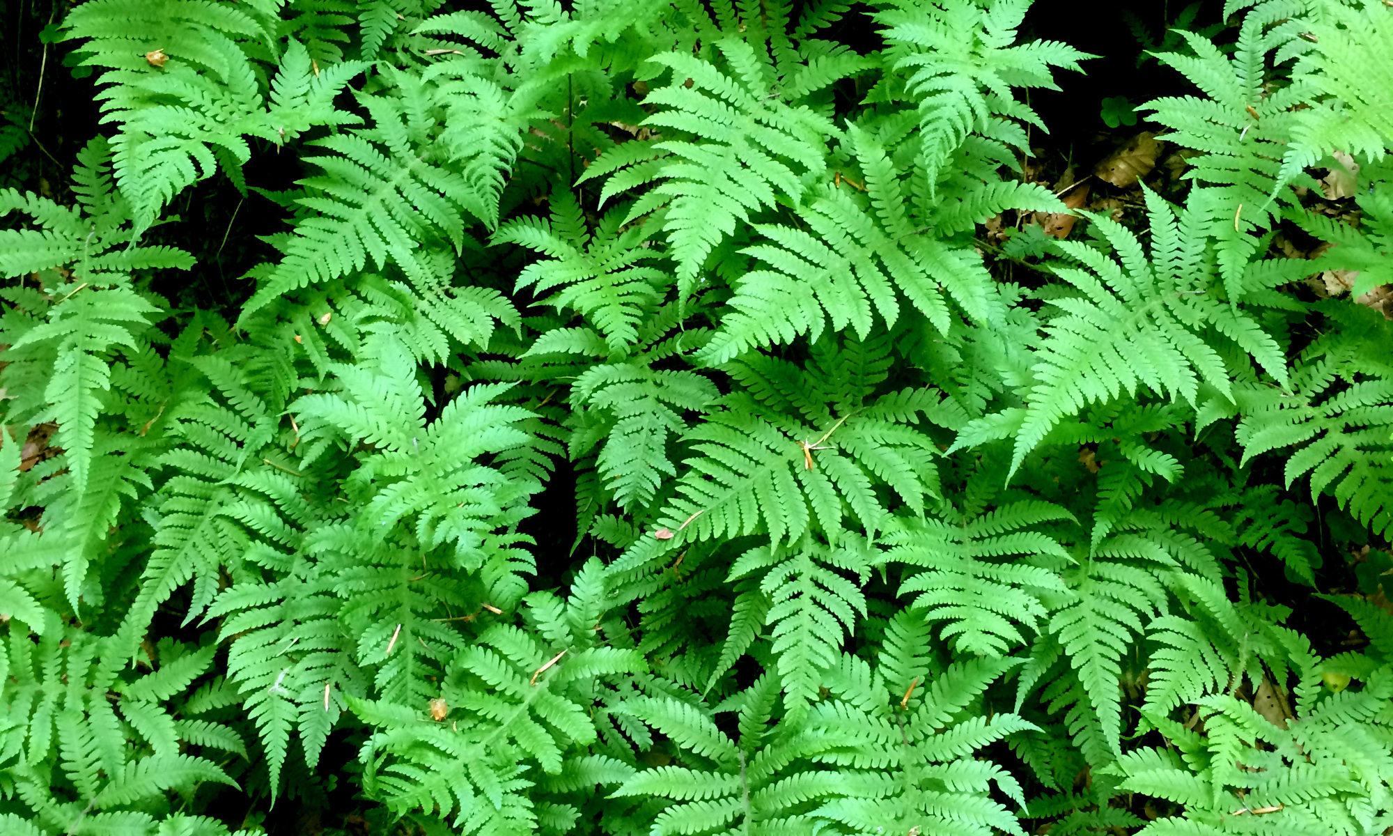 pteridophytes.lu